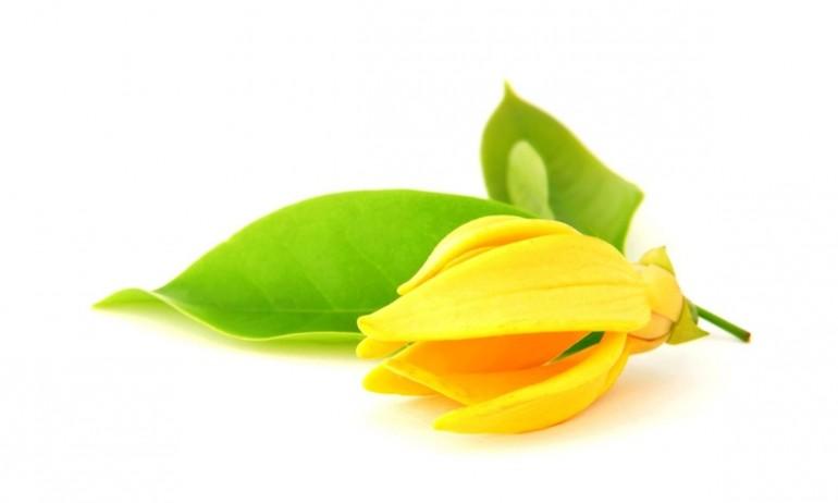 Ylang Ylang Fragrance กระดังงา (1 kg)